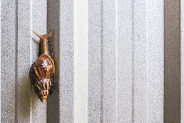 Escargots terrestres africains sur mur de zinc moderne.