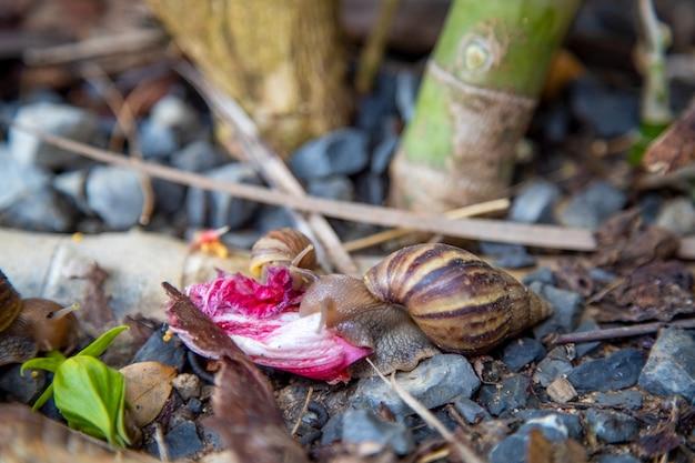 Les escargots tropicaux rampent et mangent des feuilles dans les buissons après la pluie en gros plan