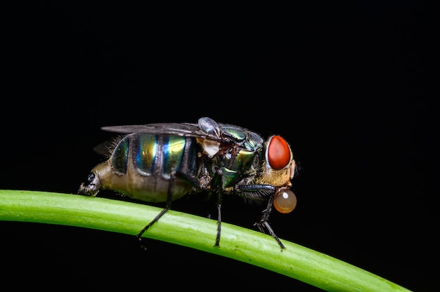 Espèce de mouche verte dans la nature