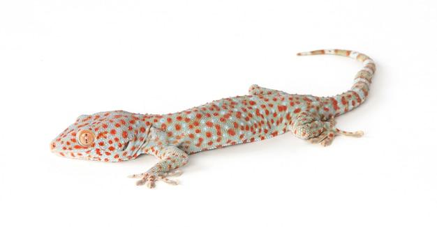 Espèces de tokay gecko