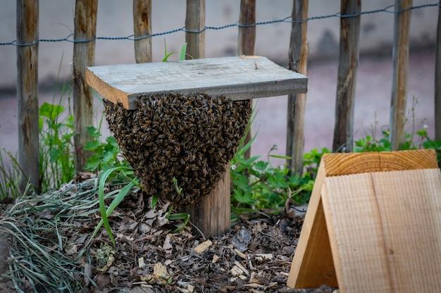 Essaim d'abeilles se réfugiant dans un jardin