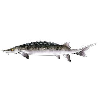 Esturgeon, illustration isolée aquarelle d'un poisson.