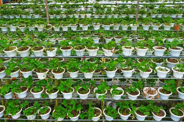 Étagères en pot et système d'irrigation ferme de fraises en malaisie.