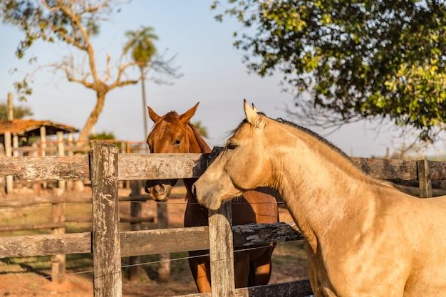 Étalon american quarter horse en peau de daim