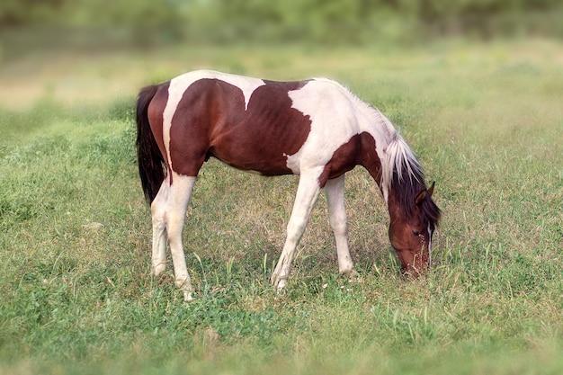 Étalon brun et blanc mangeant de l'herbe. vue latérale, pleine longueur