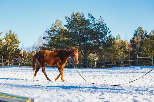 Étalon à l'entraînement l'hiver sur le terrain de parade