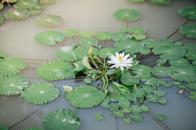 Étang de lotus qui fleurit le matin