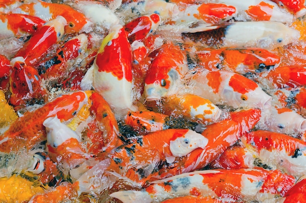Étang à poissons, carpe koi japonaise