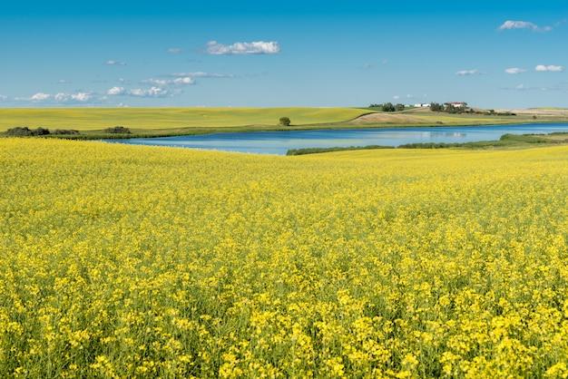 Étang de prairie et cour sur une colline entourée d'un champ de canola en fleurs