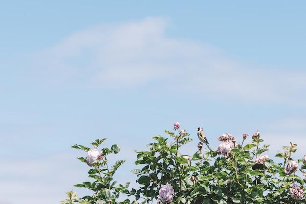 Été, floraison, roses, roses, fond