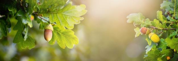 Été, fond d'automne avec des branches de chêne avec des feuilles et des glands