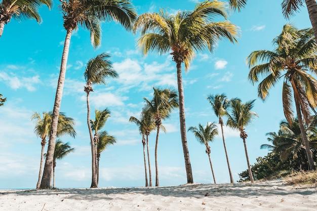L'été. journée ensoleillée. le midi. cuba, la plage de varadero océan atlantique. palmeraie à la noix de coco. grands cocotiers. ancien. façon plage