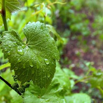 Été, pluie, groseille feuille verte