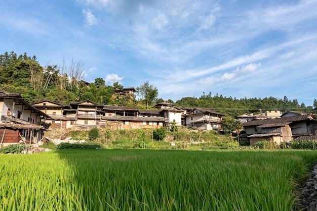 En été, le riz dans la rizière à la campagne