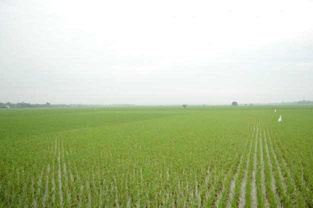 Étendue de rizière