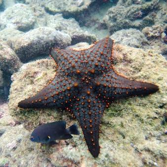 Étoile de mer avec un autre petit poisson sur un rocher, île bartolome, îles galapagos, équateur