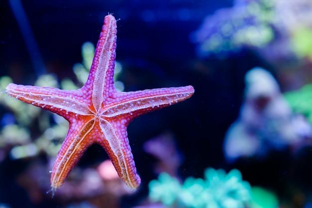 Étoile de mer fromia elegans dans son aquarium de récifs coralliens