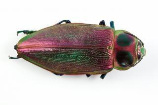 Euchroma gigantea insecte macro