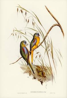 Euphema pulchella, perruche à épaulettes aux marrons, illustrée par elizabeth gould