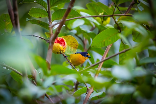 Euphonia à gorge pourpre (euphonia chlorotica) oiseau aka fim fim mangeant de la goyave dans la campagne brésilienne
