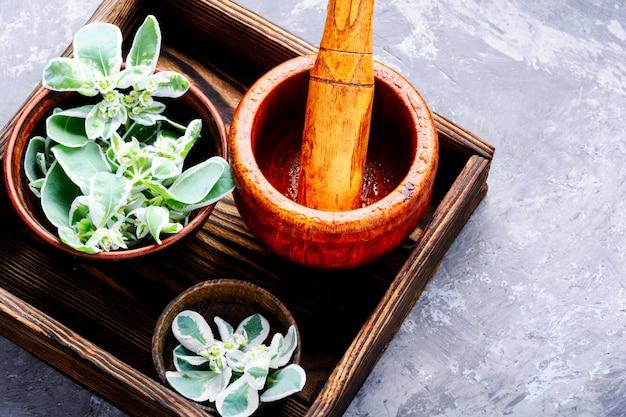 Euphorbia - un moyen ancien de la médecine traditionnelle