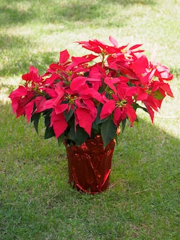 Euphorbia pulcherrima belle plante