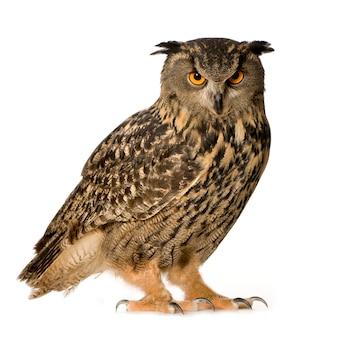 Eurasian eagle owl - bubo bubo (22 mois) isolé