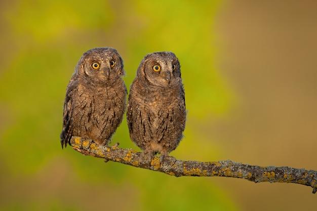Eurasian scops owl jeunes poussins perchés au printemps nature au lever du soleil