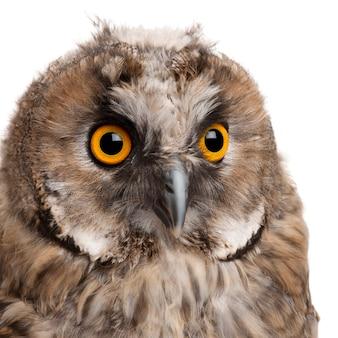 Eurasian scops-owl, otus scops, 2 mois, sur blanc isolé