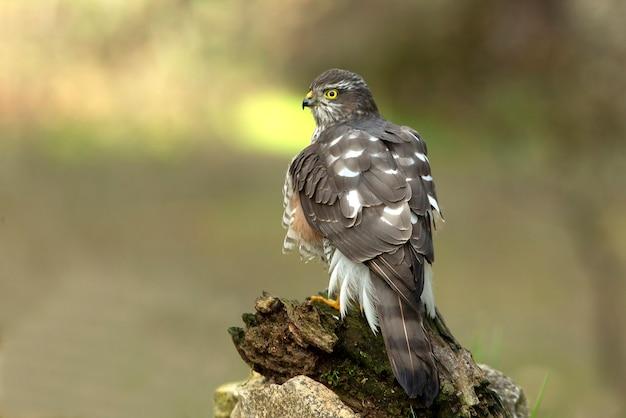 Eurasian sparrow hawk femelle adulte dans un point d'eau naturel avec les dernières lumières de l'après-midi