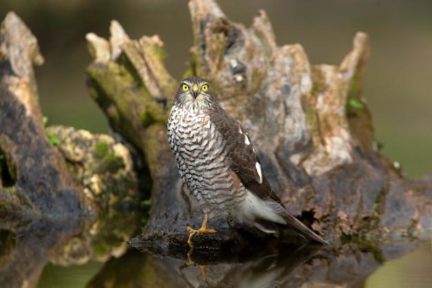 Eurasian sparrow hawk femelle adulte avec les dernières lumières du soir d'une journée d'hiver dans un étang naturel dans une forêt de pins