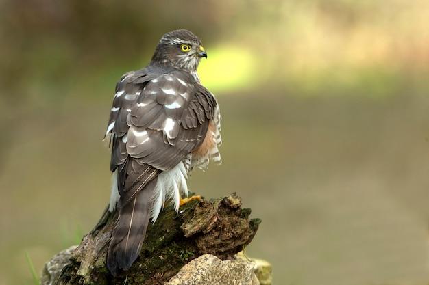 Eurasian sparrow hawk femelle adulte à son perchoir habituel dans les lumières de fin d'après-midi