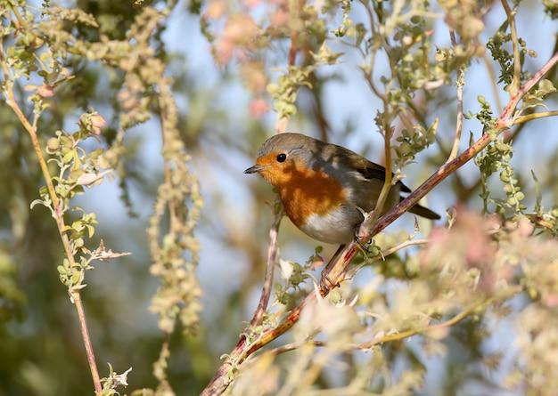 European robin erithacus rubecula aux abords du soleil doux
