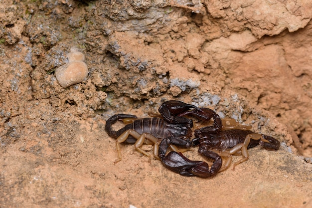 Euscorpius flavicaudis, ou la reproduction européenne du scorpion à queue jaune.
