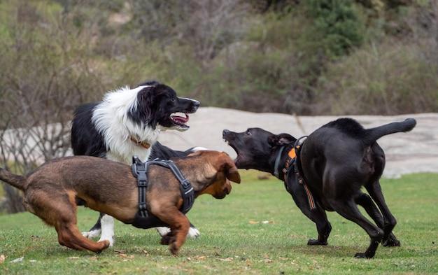 Excité trois chiens jouant sur un pré. trois chiens qui courent et jouent ensemble.