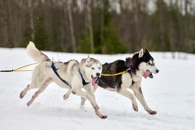 Exécution de chien husky sur les courses de chiens de traîneau. compétition d'équipe de traîneau de sport canin d'hiver chien husky sibérien dans le skieur de traction de harnais ou traîneau avec musher. course active sur route de piste de ski de fond enneigée