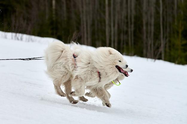Exécution de chien samoyède sur les courses de chiens de traîneau. compétition d'équipe de traîneau de sport canin d'hiver chien samoyède en skieur tirant un harnais ou en traîneau avec musher. course active sur route de piste de ski de fond enneigée