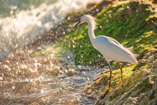 Exemplaire de bubulcus ibis près du bord de mer dans une plage en république dominicaine