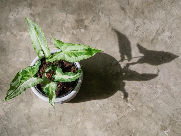 Exotic syngonium trois rois panaché dans un pot en béton sur fond de sol en béton dans la lumière du matin avec une longue ombre vue de dessus