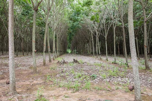 Exploiter la sève de l'hévéa à thailand.