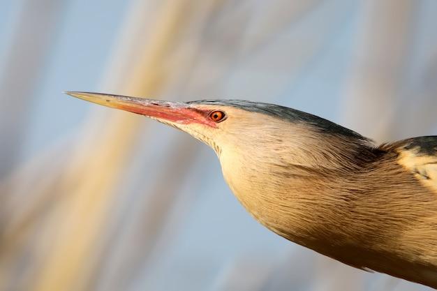 Extra close up portrait mâle de la lumière du plumage de consanguinité petit butor.