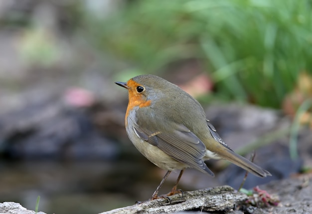 Extra close up portrait of an european robin (erithacus rubecula) est assis sur une branche