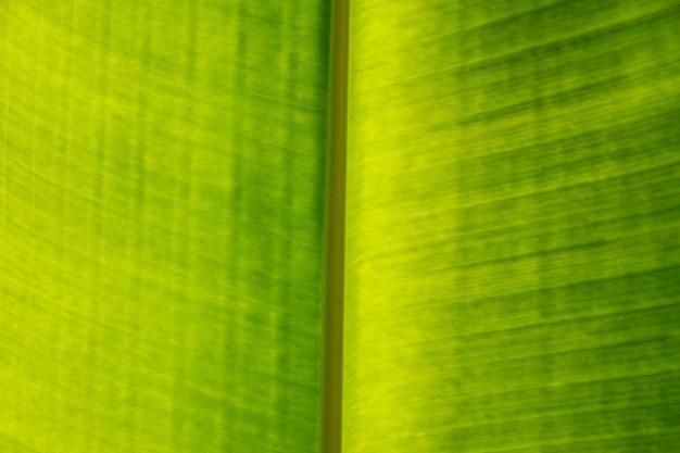 Extreme close up texture de fond de feuille de palmier vert clair rétro-éclairé avec veines