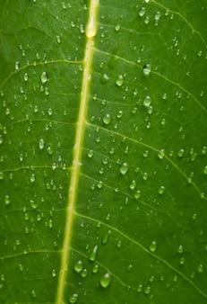 Extreme close up texture de fond des veines des feuilles vertes avec des gouttes d'eau après la pluie