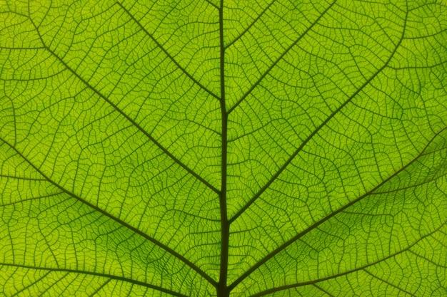 Extreme close up texture de fond de veines de feuilles vertes rétro-éclairées
