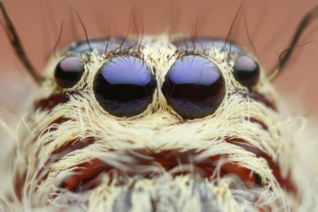 Extrême tête et les yeux de l'araignée sauteuse magnifiée