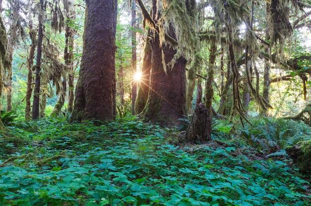 Fabuleuse forêt tropicale dans le parc national olympique, washington, usa. arbres recouverts d'une épaisse couche de mousse.