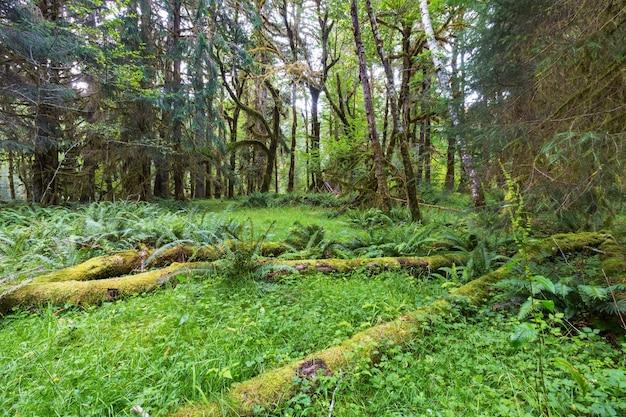 Fabuleuse forêt tropicale dans le parc national olympique, washington, usa.