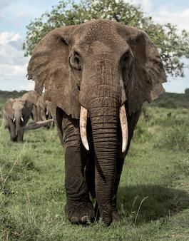 Face à l'éléphant, serengeti, tanzanie