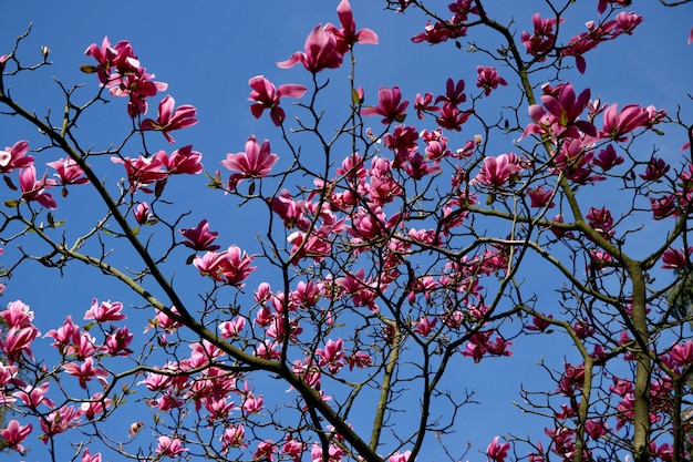 Faible angle de vue de belles fleurs épanouies à pétales roses sur un arbre sous le beau ciel bleu